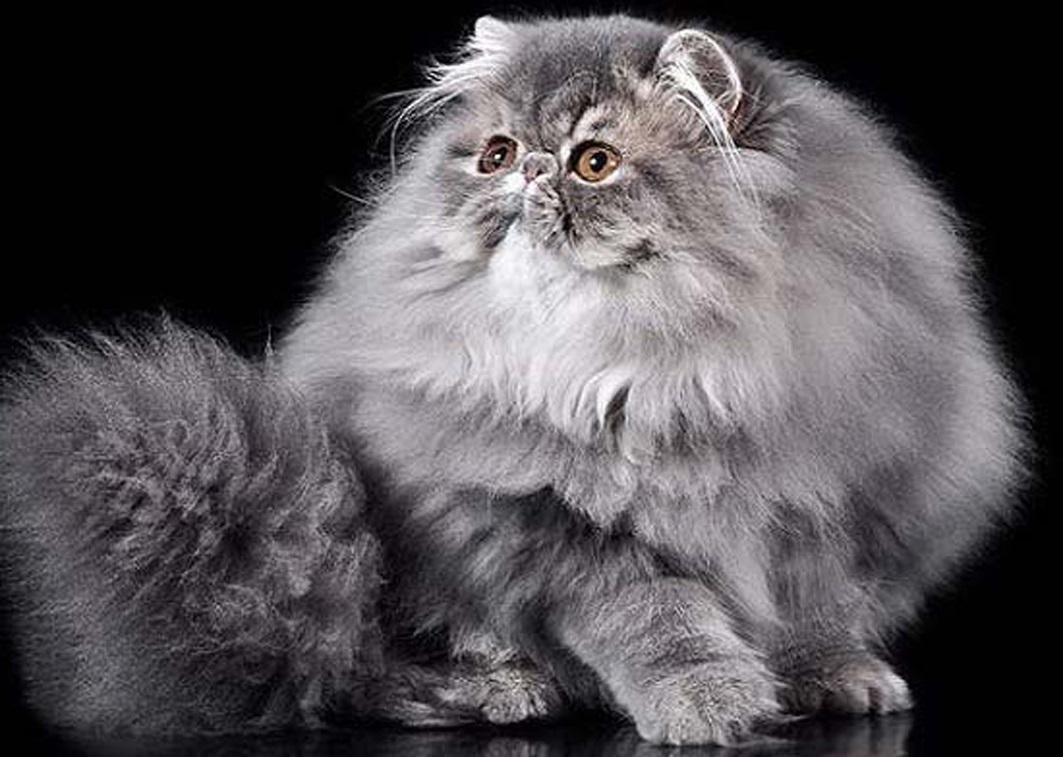 лечение кот перс картинки черно-белые люди
