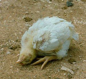 Прививка цыплятам инфекционный бронхит